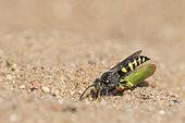 Digger wasp : Sand wasp (Bembecinus tridens) carrying a leafhopper, La Truchère Nature Reserve, Burgundy, France