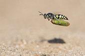 Digger wasp : Sand wasp (Bembecinus tridens) carrying a leafhopper in flight, La Truchère Nature Reserve, Burgundy, France