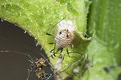 Parasitoid wasp mummy (Aphelinus sp), Lorraine, France