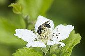 Little black wild bee on a bramble flower, Lorraine, France