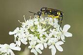 Sawfly (Tenthredinidae sp) on Chervil (Anthriscus cereifolium) flower, Lorraine, France