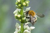 Brown Bumblebee (Bombus pascuorum) on White deadnettle (Lamium album) flower, France