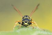 Paper Wasp (Polistes sp) on a leaf, Lorraine, France