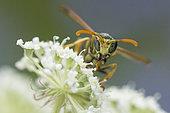 Paper Wasp (Polistes sp) on Umbellifera flowers, Lorraine, France