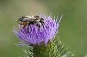 Leaf-cutting bee (Megachile sp) with pollen under the abdomen, Lorraine, France