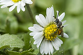 Sweat bee (Sphecodes albifrons) on Lawndaisy, Lorraine, France
