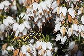 Paper Wasp (Polistes sp) on White Heather, Jardin botanique Jean-Marie Pelt, Nancy, Lorraine, France