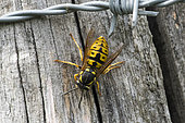 German Yellowjacket (Vespula germanica) founding queen on pole, France