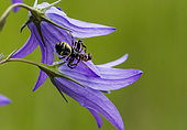 Crab spider (Synaema globosum) capturing an Ant on Bellflower (Campanula sp), Lorraine, France