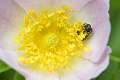 Solitary bee (Andrena sp) on Sweetbriar (Rosa sp) flower, Lorraine, France