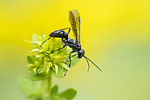 Grass-carrying Wasp (Isodontia mexicana) on St. John's wort (Hypericum sp), Lorraine, France