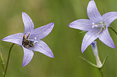 Solitary bee (Andrena sp) on Bellflower (Campanula sp), Lorraine, France