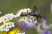 Three-banded sawfly (Macrophya montana) mating on Umbelliferous flower (Apiaceae sp), Lorraine, France