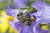 Crab spider (Synaema globosum) capturing a bee on Bellflower (Campanula sp), Lorraine, France