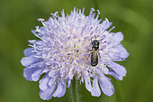 Xylocopin bee: Carpenter bee (Ceratina sp) on Scabia flower (Scabiosa sp), Lorraine, France