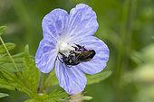 Leaf-cutting bee (Megachile ericetorum) on Meadow Cranesbill (Geranium pratense) flower, Lorraine, France
