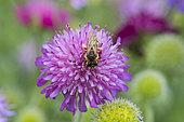 Great banded furrow-bee (Halictus scabiosae) on Sabiosa (Scabiosa sp) flower, Lorraine, France