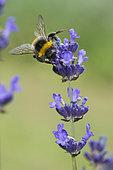 Buff-tailed Bumblebee (Bombus terrestris) lavender flower pollinator, Lorraine, France