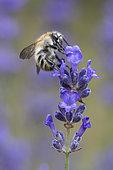 Brown Bumblebee (Bombus pascuorum) on Lavender flower (Lavandula sp), Lorraine, France
