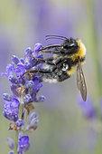 Garden Bumblebee (Bombus -Megabombus- hortorum) lavender flower pollinator, Lorraine, France
