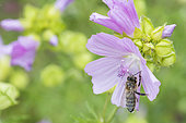 Honey bee (Apis mellifera) covered with pollen on Musk mallow (Malva moschata) flower, Lorraine, France