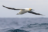 Cape Gannet (Morus capensis), adult in flight, Western Cape, South Africa