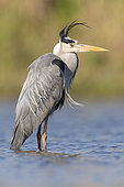 Grey Heron (Ardea cinerea), side view of an adult standing in the water, Campania, Italy