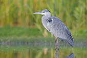 Grey Heron (Ardea cinerea), side view of a juvenile standing in the water, Campania, Italy