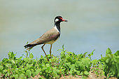 Red-wattled Lapwing (Vanellus indicus) on the edge of a pond, Sri Lanka