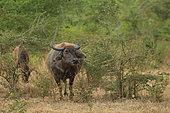 Asian water buffalo (Bubalus arnee) female in Yala Park, Sri Lanka