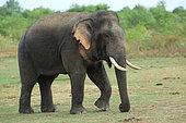 Asian Elephant (Elephas maximus) bull walking in a national park in Sri Lanka