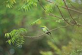 Little Green Bee-Eater (Merops orientalis) on a branch, Yala NP, Sri Lanka
