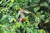 Toque macaque (Macaca sinica) looking for fruits, Sri Lanka