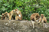 Toque macaque (Macaca sinica) group on a rock, Kandy, Sri Lanka