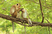 Toque macaque (Macaca sinica) grooming on a branch, Sri Lanka