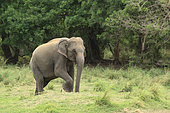 Asian Elephant (Elephas maximus) walking in a national park in Sri Lanka