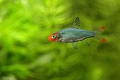 Sawbwa barb (Sawbwa resplendens) male in aquarium