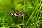 Checkered barb (Oliotius oligolepis) male profil in aquarium