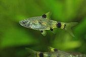 Golden barb (Pethia gelius) male in aquarium