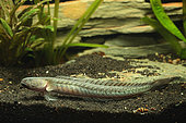 Dragon goby (Gobioides broussonnetii) in aquarium