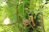 Asian Paradise Flycatcher (Terpsiphone paradisi) feeding its chicks in the nest, Sri Lanka