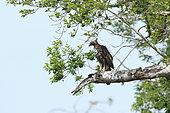 Crested Hawk-Eagle (Spizaetus cirrhatus) on a branch, Sri Lanka