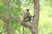 Tufted Grey Langur (Semnopithecus priam) female with her young in a tree, Sri Lanka