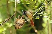 Asian Paradise Flycatcher (Terpsiphone paradisi) feeding her chick in the nest, Sri Lanka