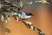Black backed Puffback (Dryoscopus cubla) standing in a shrub in Kruger National park, South Africa