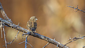 Cut throat finch (Amadina fasciata) female standing on a branch rear view in Kruger National park, South Africa