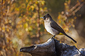 Dark capped Bulbul (Pycnonotus tricolor) standing on a log with fall colors background in Kruger National park, South Africa