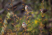 Three Red-billed Queleas in fall colors shrub in Kruger National park, South Africa ; Specie Quelea quelea family of Ploceidae