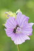 Mining bee (Halictus sp) on Musk mallow (Malva moschata) flower, Lorraine, France