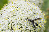 Grass-carrying Wasp (Isodontia mexicana) on flowers, Lorraine, France